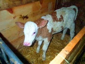 Junges Kälbchen im Kuhstall